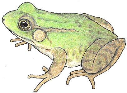 Mus e virtuel du canada virtual museum of canada biodome de montreal - Dessin de grenouille verte ...