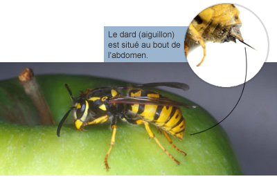 Gard au dard pourquoi les gu pes abeilles et bourdons - Pourquoi les mouches piquent ...