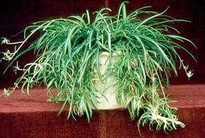 plantes dépolluantes Chlorophytum_comusum