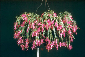 Images de cactus. Schlumbergera_x_buckleyi_peg