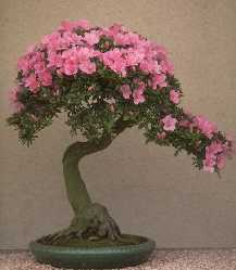 Bonsïs du Japon Rhododendron_bonsai