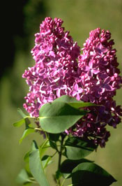 Syringa vulgaris 'Van Nes'